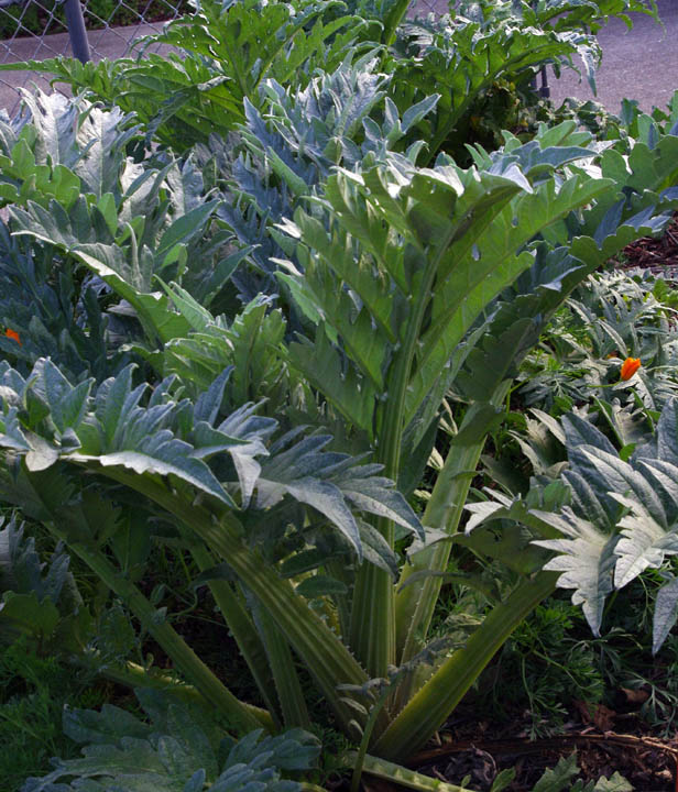 Artichokes have a wonderful architectural structure and texture that  compliments many other plants. Their gray-green fronds die back in the  summer but they ...